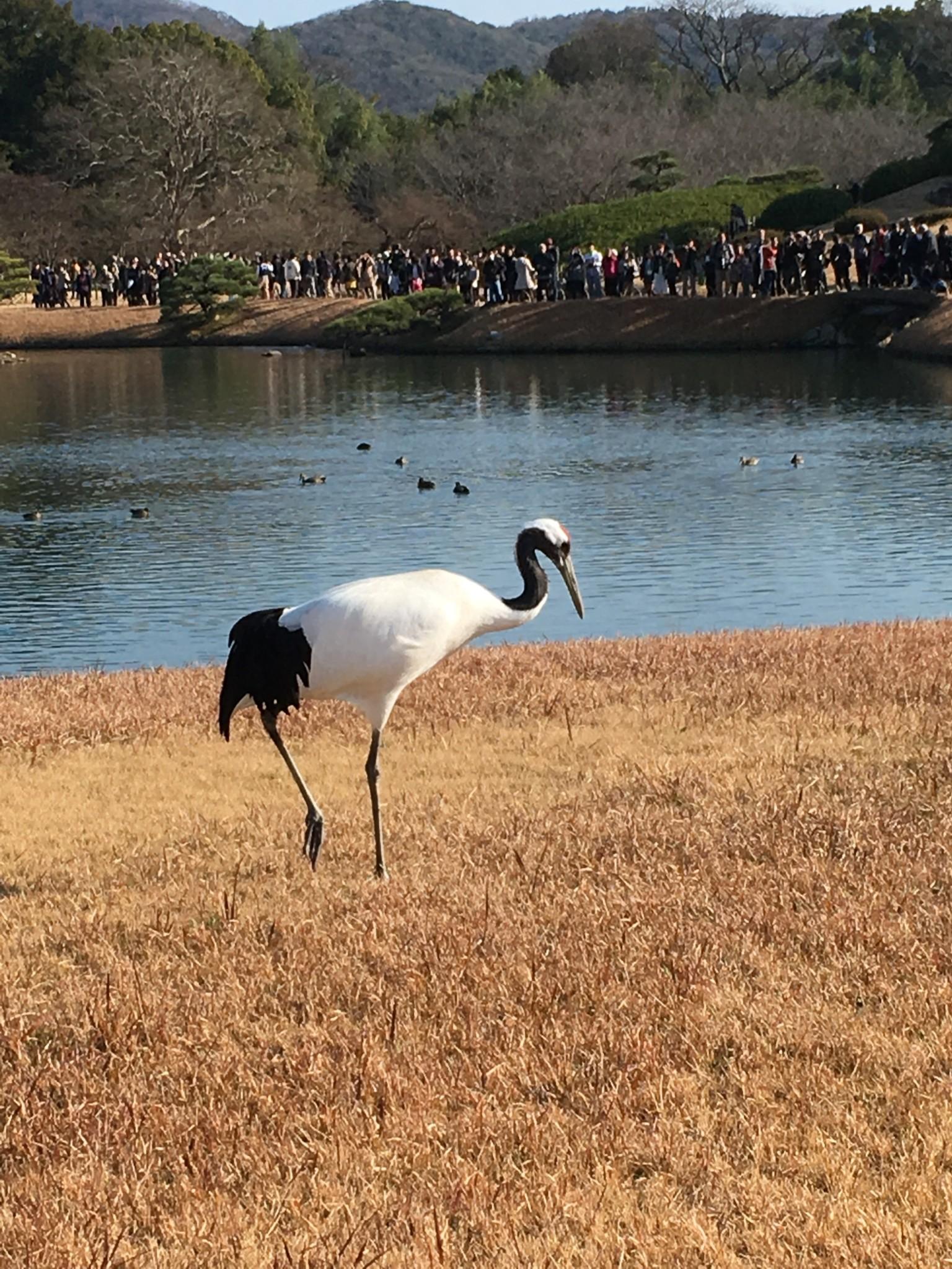 元旦の岡山後楽園の丹頂鶴はとても優雅でした。