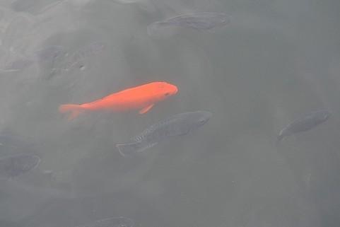 中学校の鯉釣り大会(田舎モンのアタシシリーズ)