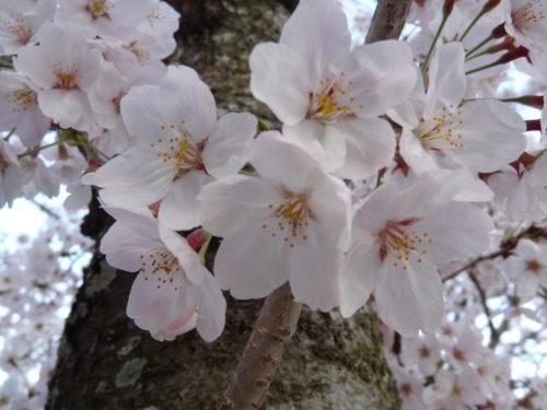桜が満開だというのに、私は・・・。